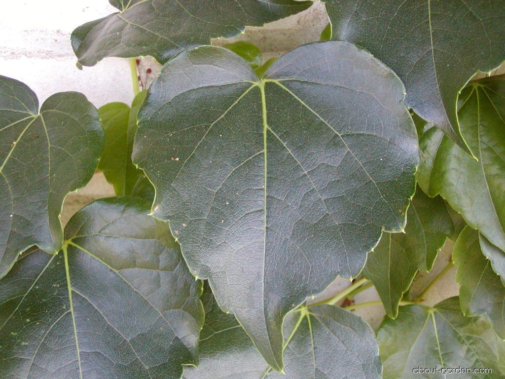 Přísavník trojcípý (Parthenocissus tricuspidata)