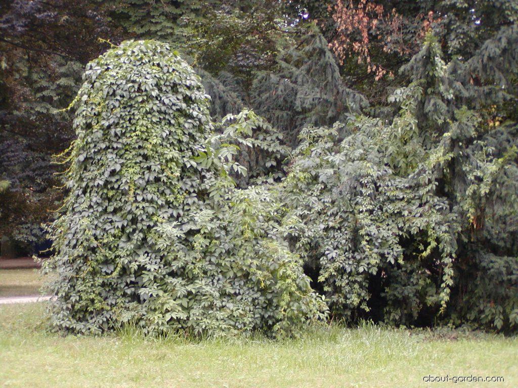 Virginia creeper - Parthenocissus quinquefolia