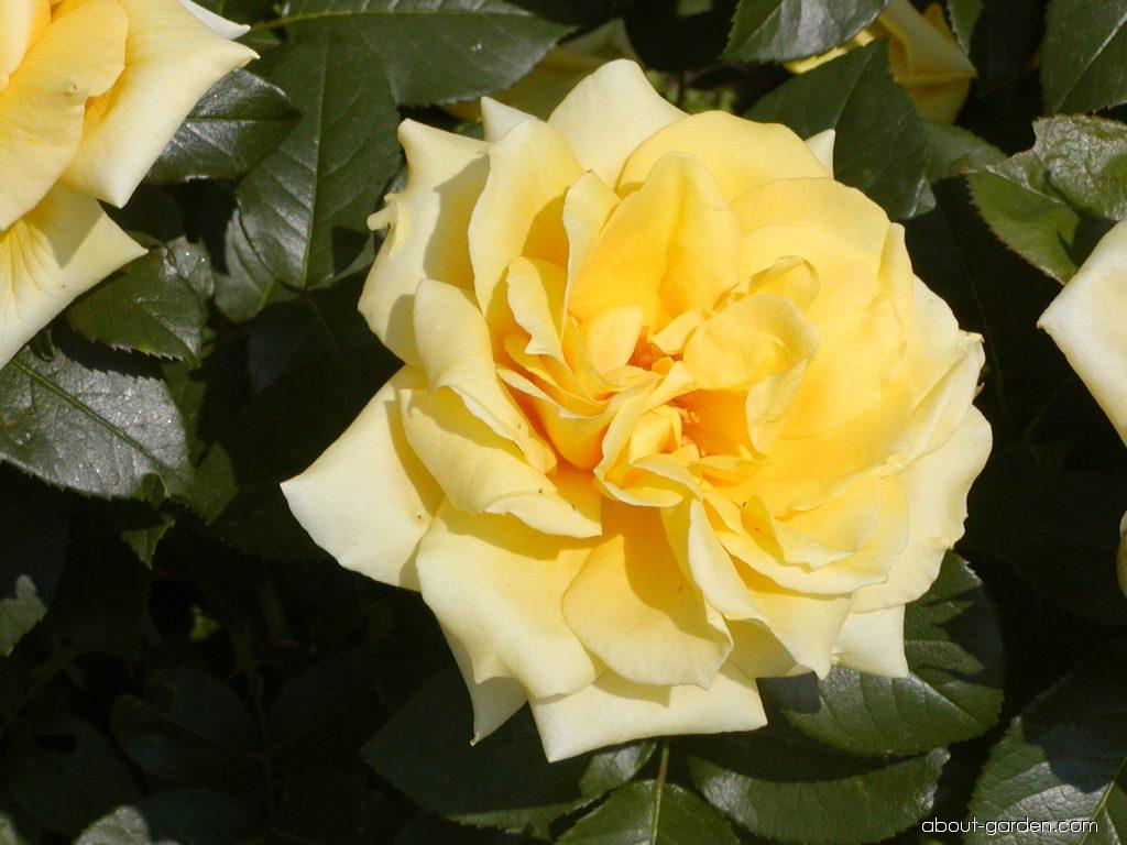 Rose - Rosa Friesia