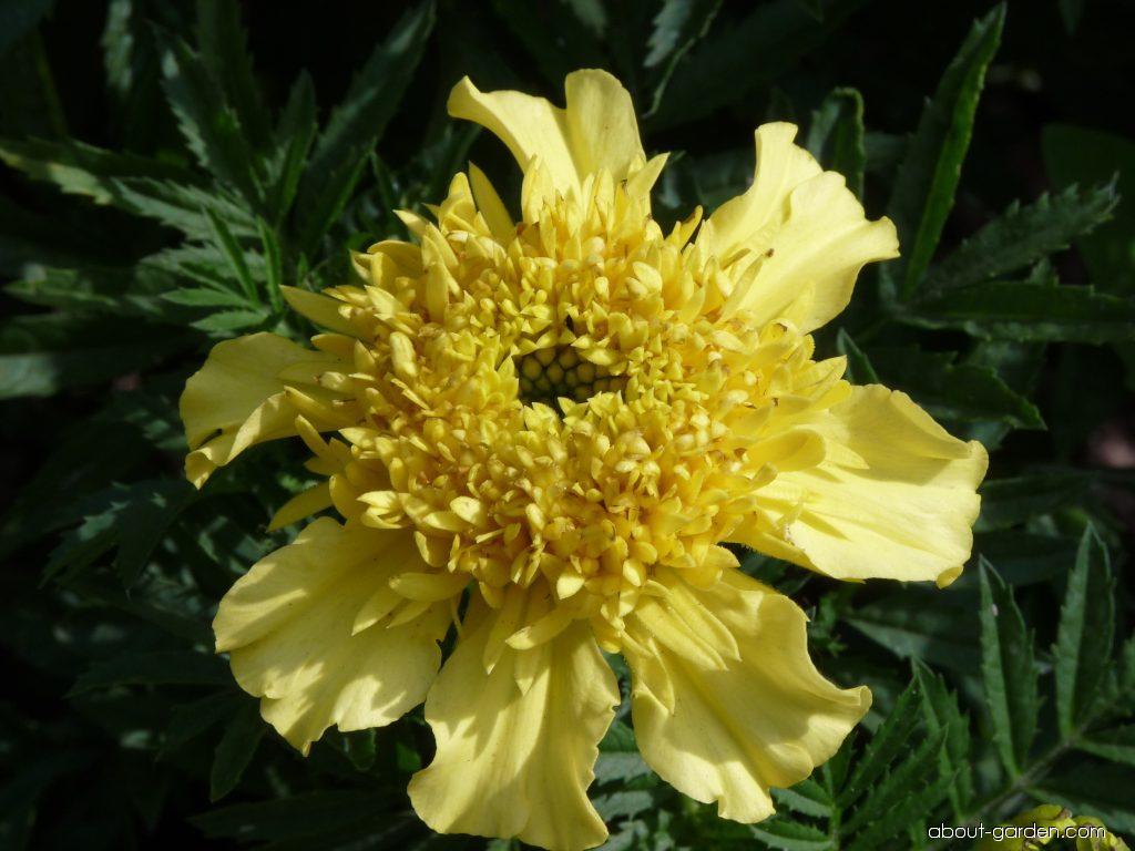 French Marigold - Tagetes patula Petit žlutý