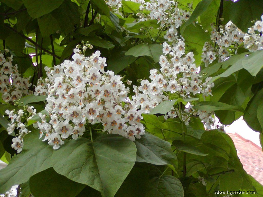 photo indian bean tree flowers about. Black Bedroom Furniture Sets. Home Design Ideas