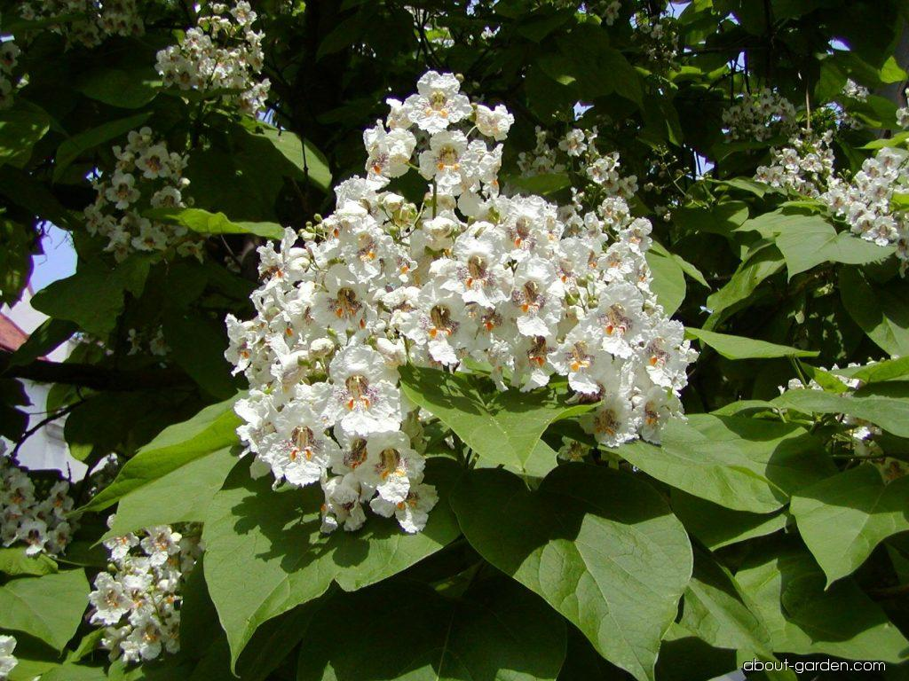 Catalpa bignonioides Walter (Indian-bean-tree)