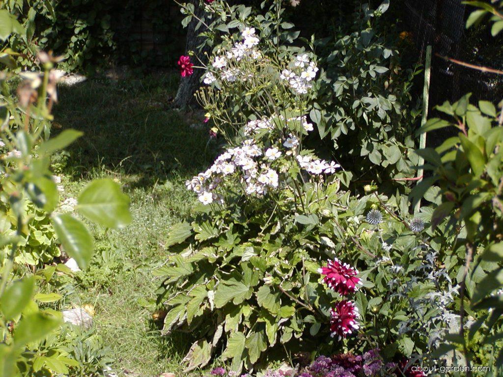 Japanese thimbleweed - Anemone hupehensis