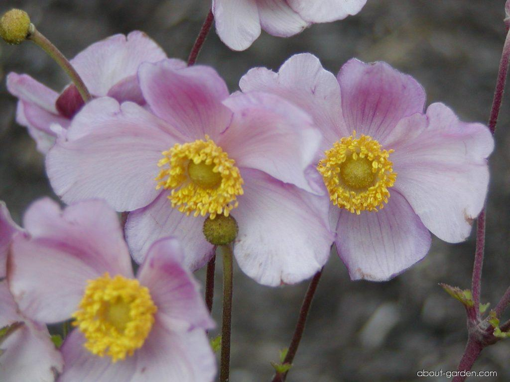 photojapanese thimbleweed flowers