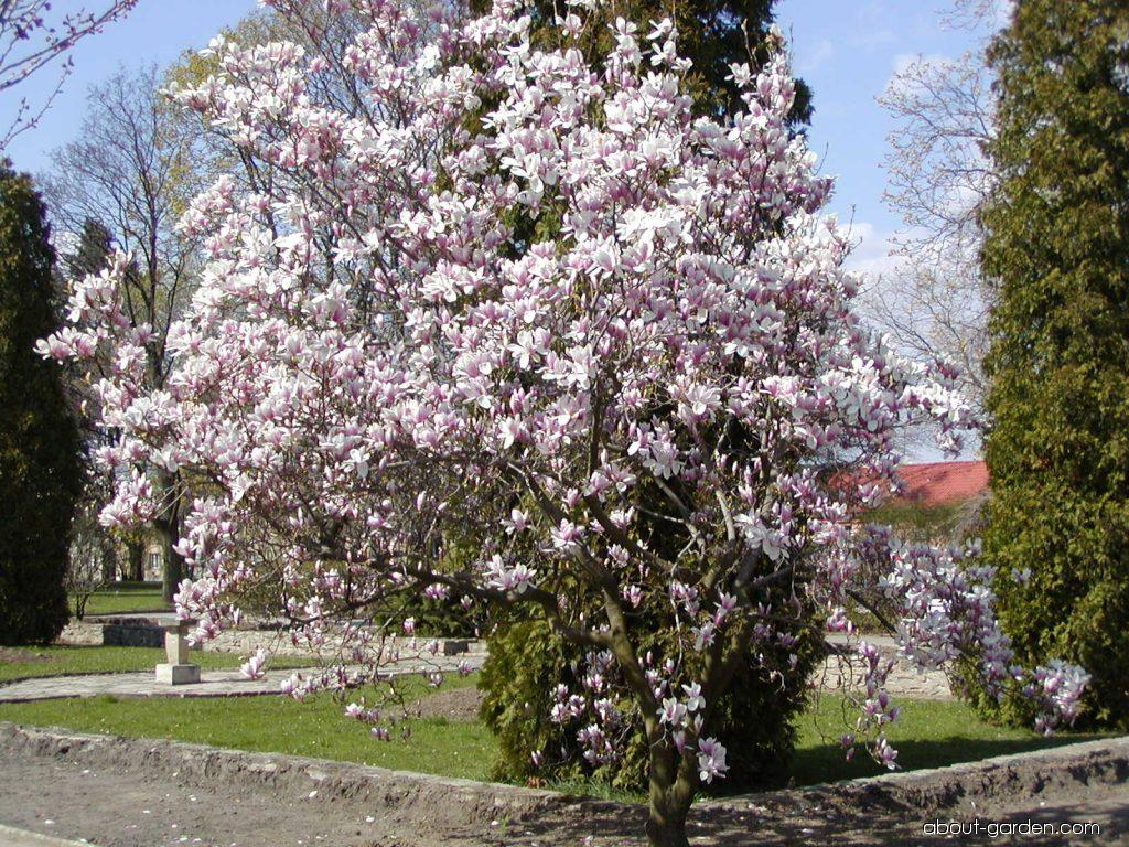 photo saucer magnolia about. Black Bedroom Furniture Sets. Home Design Ideas