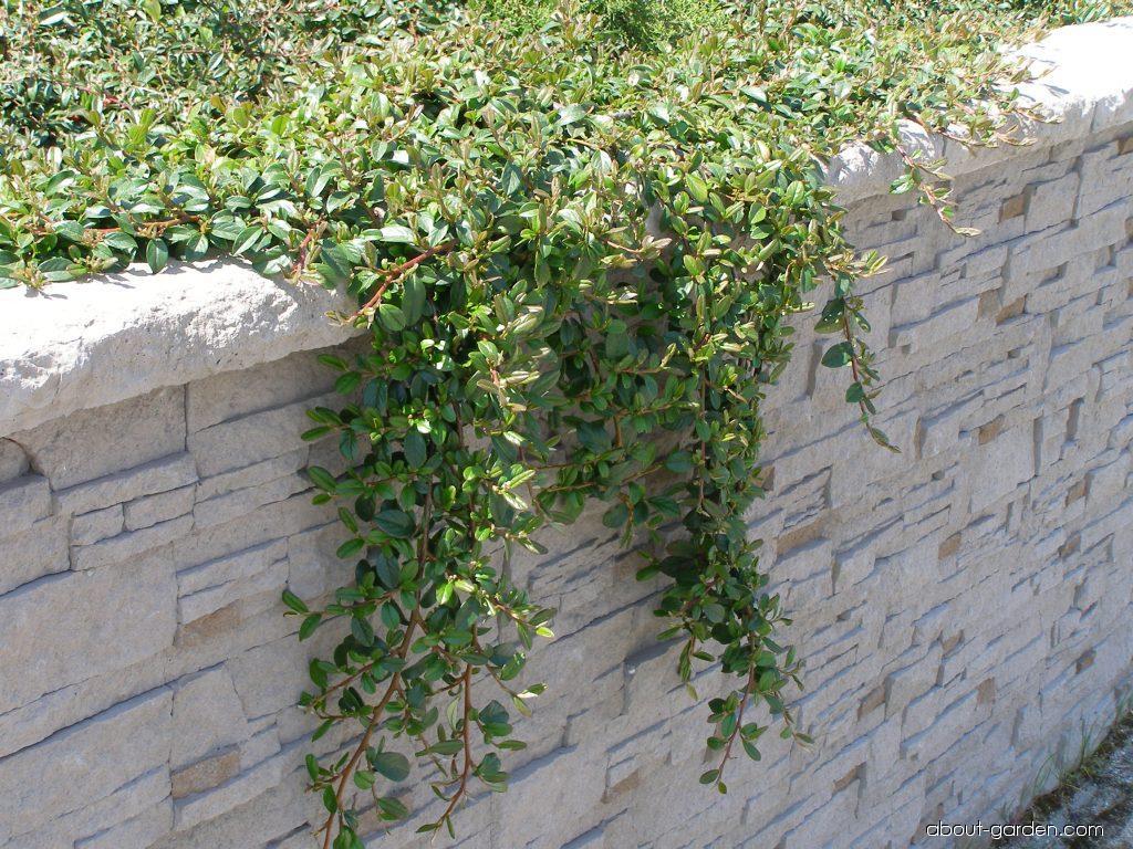 Cotoneaster - Cotoneaster dammeri