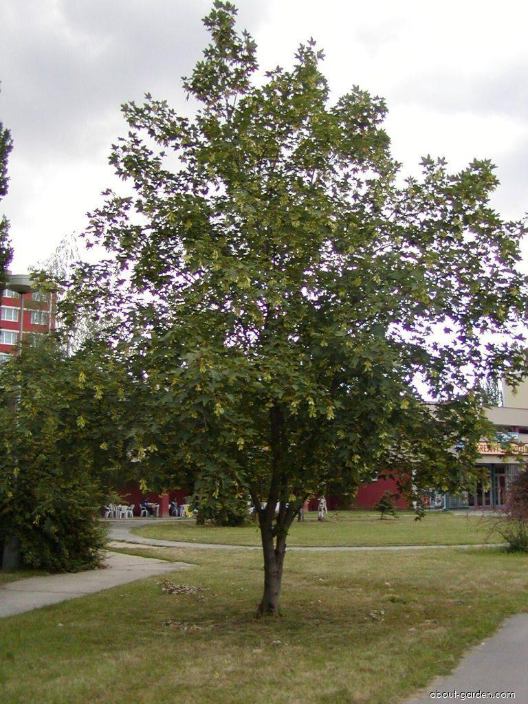 Acer Pseudoplatanus Plant Encyclopedia About Gardencom