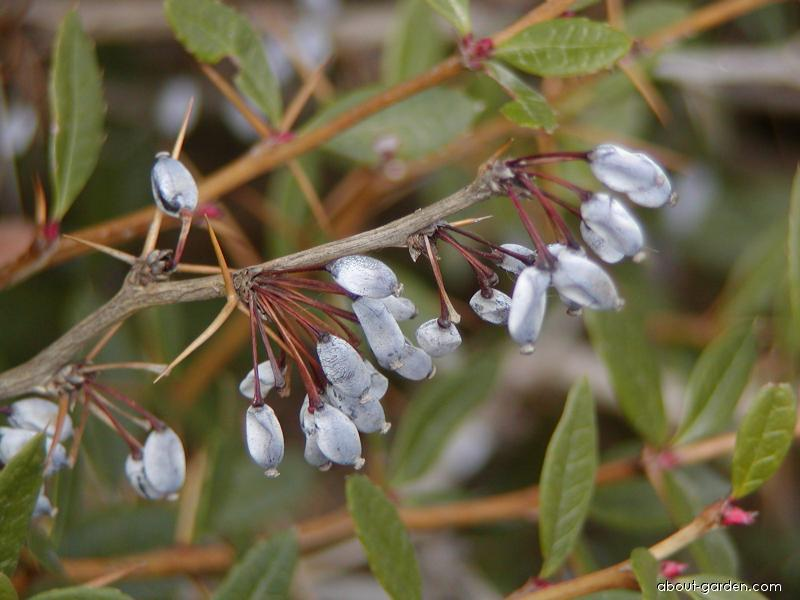 Wintergreen barberry - Berberis julianae