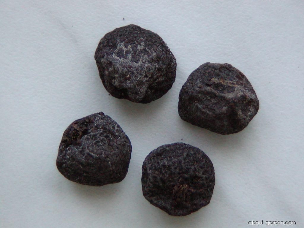 Balkan Anemone - Anemone blanda