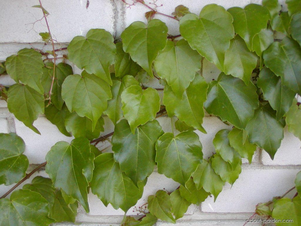Boston ivy - Parthenocissus tricuspidata Veitchii
