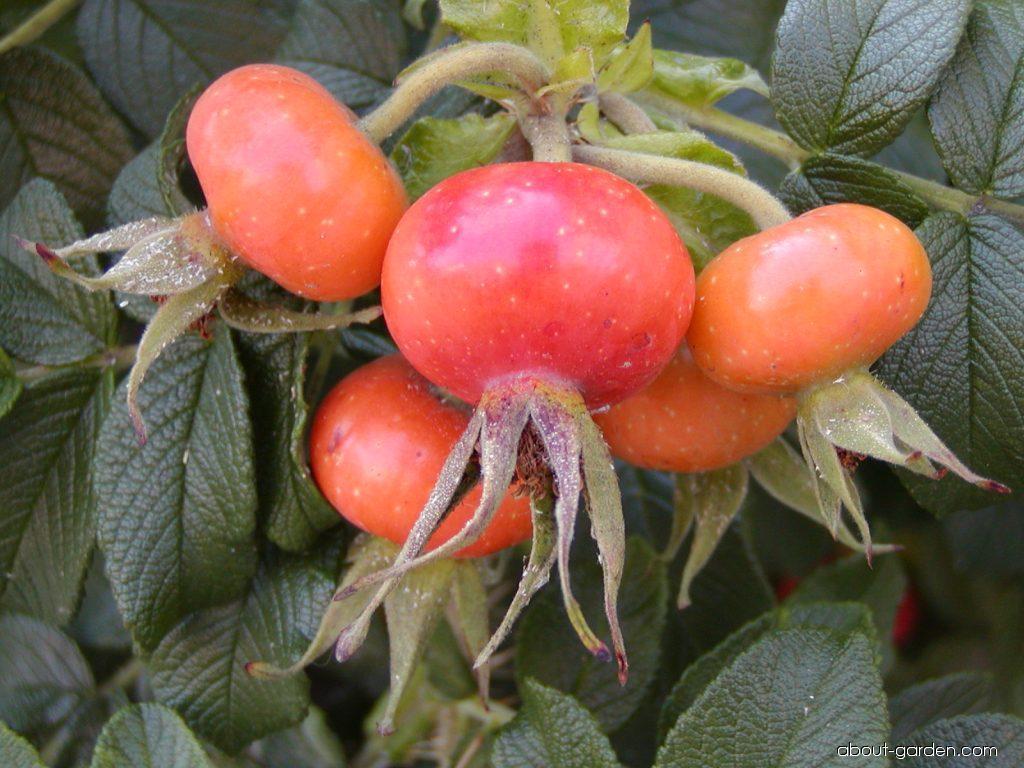 Japanese rose - Rosa rugosa