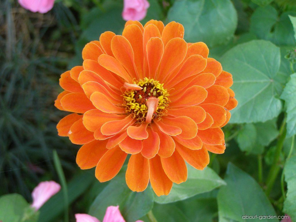 Youth-and-age - Zinnia elegans