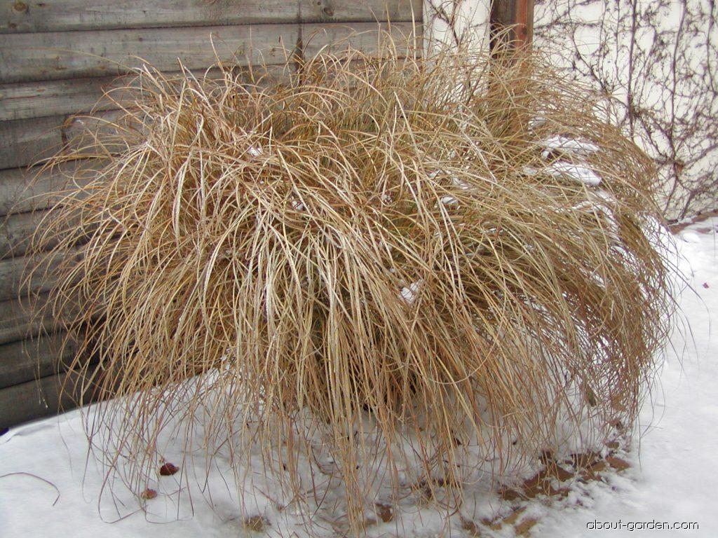 Chinese Silver Grass - Miscanthus sinensis Gracillimus
