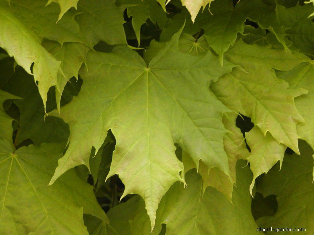 photo norway maple globosum about. Black Bedroom Furniture Sets. Home Design Ideas
