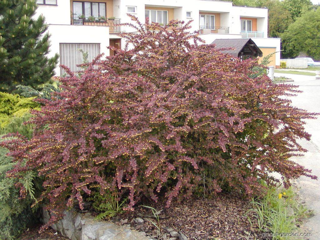 photo japanese barberry atropurpurea about. Black Bedroom Furniture Sets. Home Design Ideas