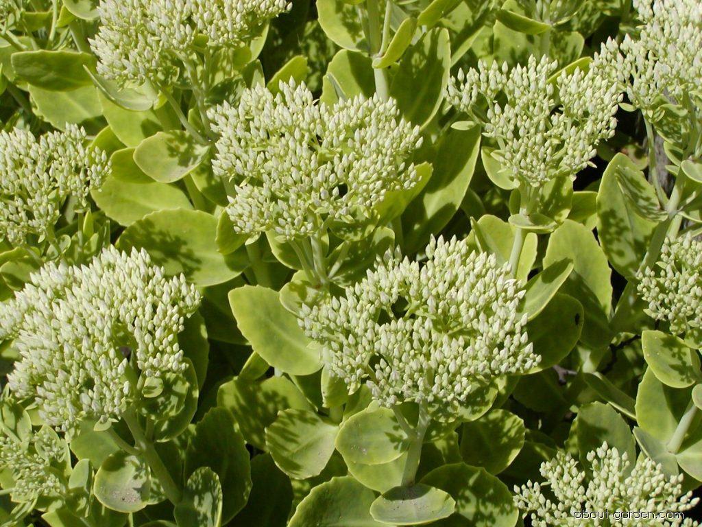 Orpine - Hylotelephium telephium Herbstfreude