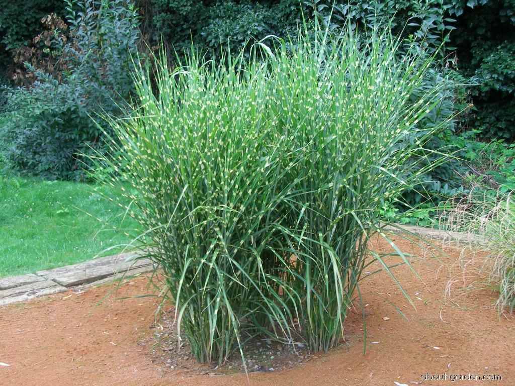 Chinese Silver Grass - Miscanthus sinensis Strictus