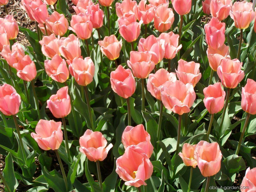 Fosteriana Tulip - Tulipa fosteriana Albert Heijn