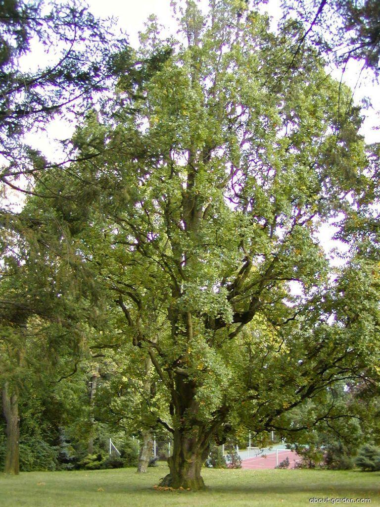Columnar English Oak   About-garden.com