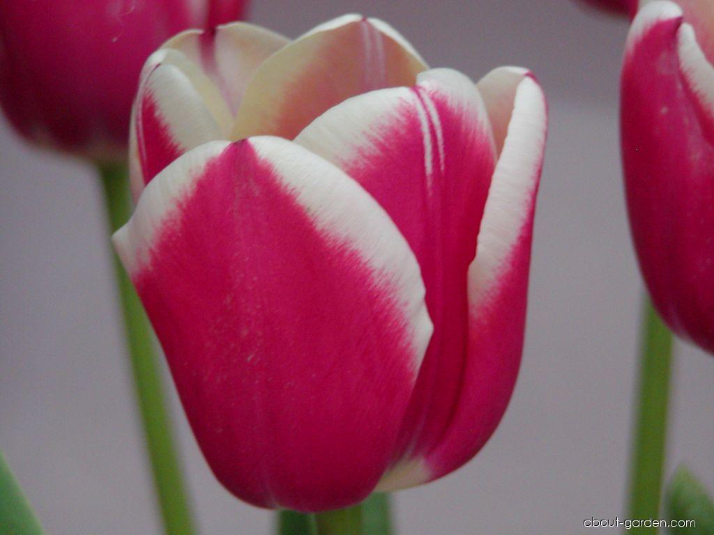 Tulip - Tulipa Furand