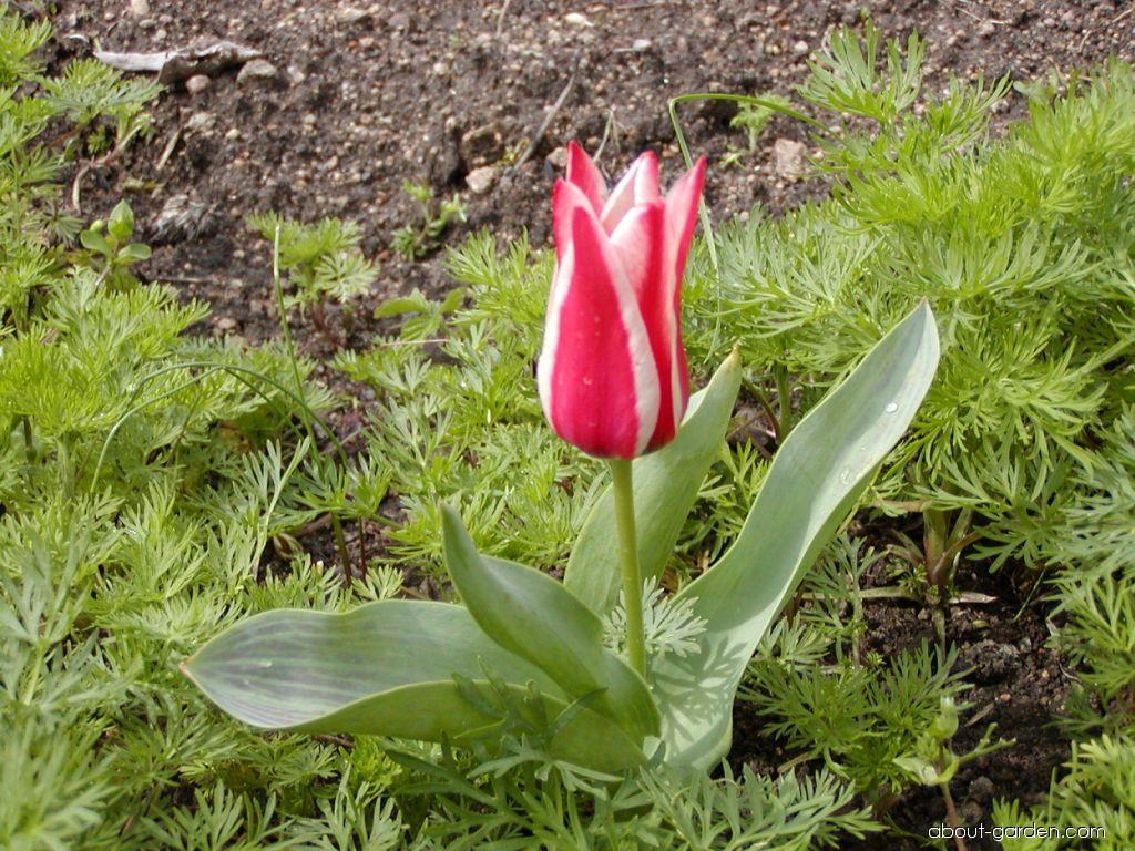 Greigii Tulip - Tulipa greigii Plaisir