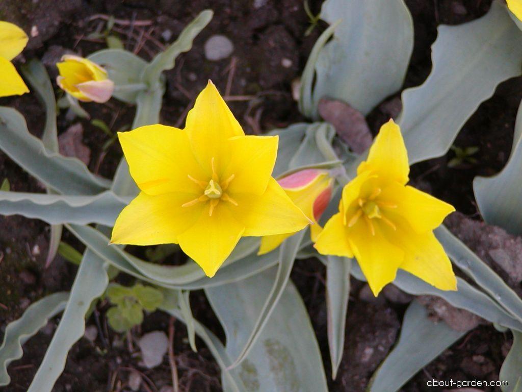 Tulip - Tulipa kolpakowskiana