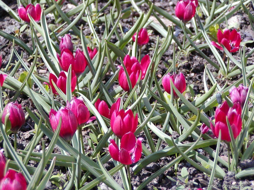 Tulip - Tulipa kurdica