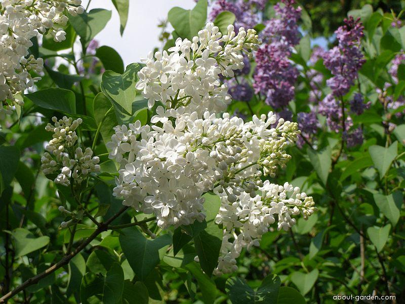 Common Lilac - Syringa vulgaris