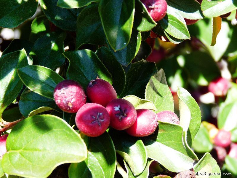 Skalník - plody (Cotoneaster)