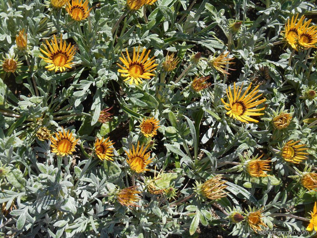 Treasureflower - Gazania rigens Kiss Yellow