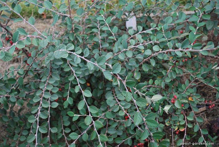 Skalník Dielsiův - listy (Cotoneaster dielsianus)