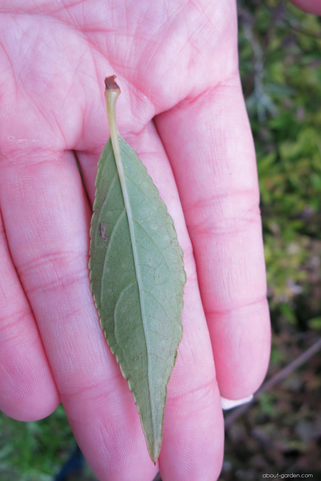 Trojpuk štíhlý - listy (Deutzia gracilis)