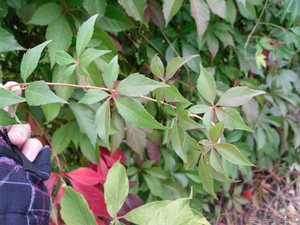 Loubinec popínavý - listy (Parthenocissus inserta)