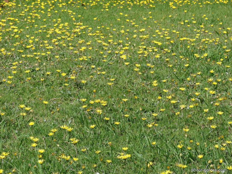 Plain Treasureflower (Arctotheca calendula)