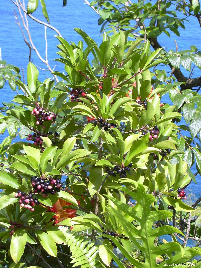Shoebutton - fruits (Ardisia elliptica)