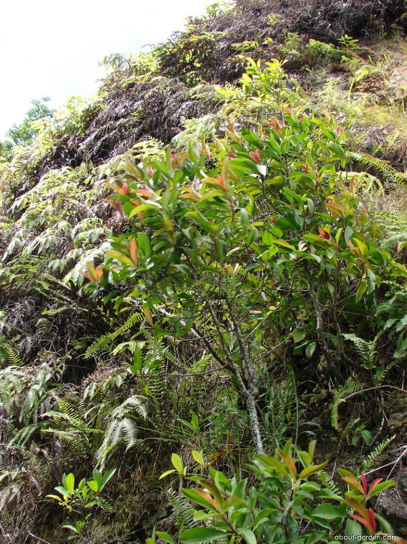 Shoebutton - leaves and fruits (Ardisia elliptica)