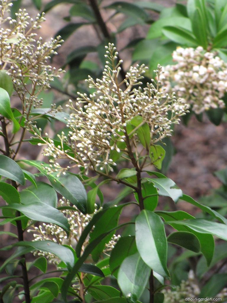Marlberry - flowers (Ardisia escallonioides)