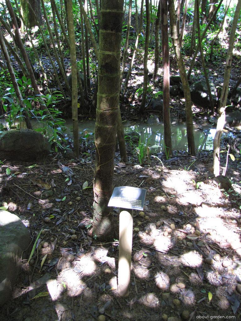 Betel palm - habit (Areca catechu)