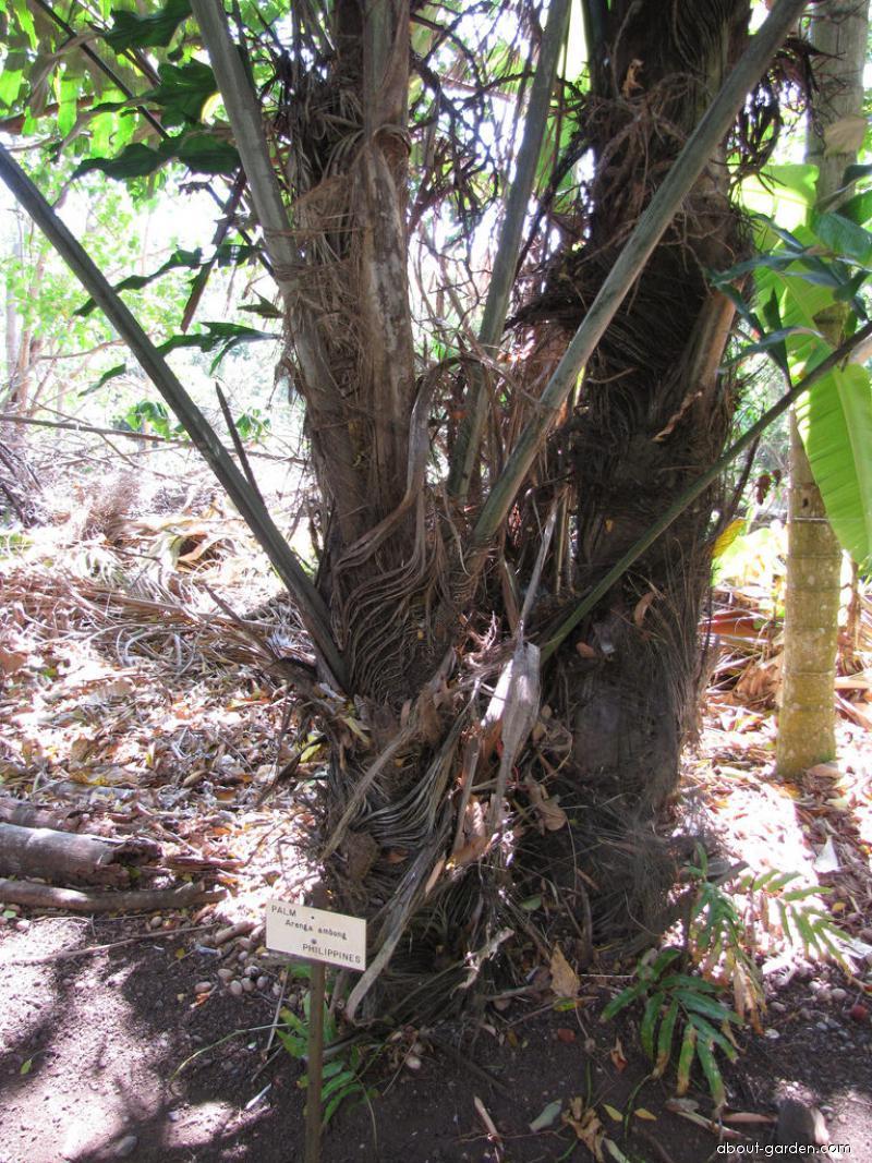 Aren Gelora - trunk (Arenga undulatifolia)