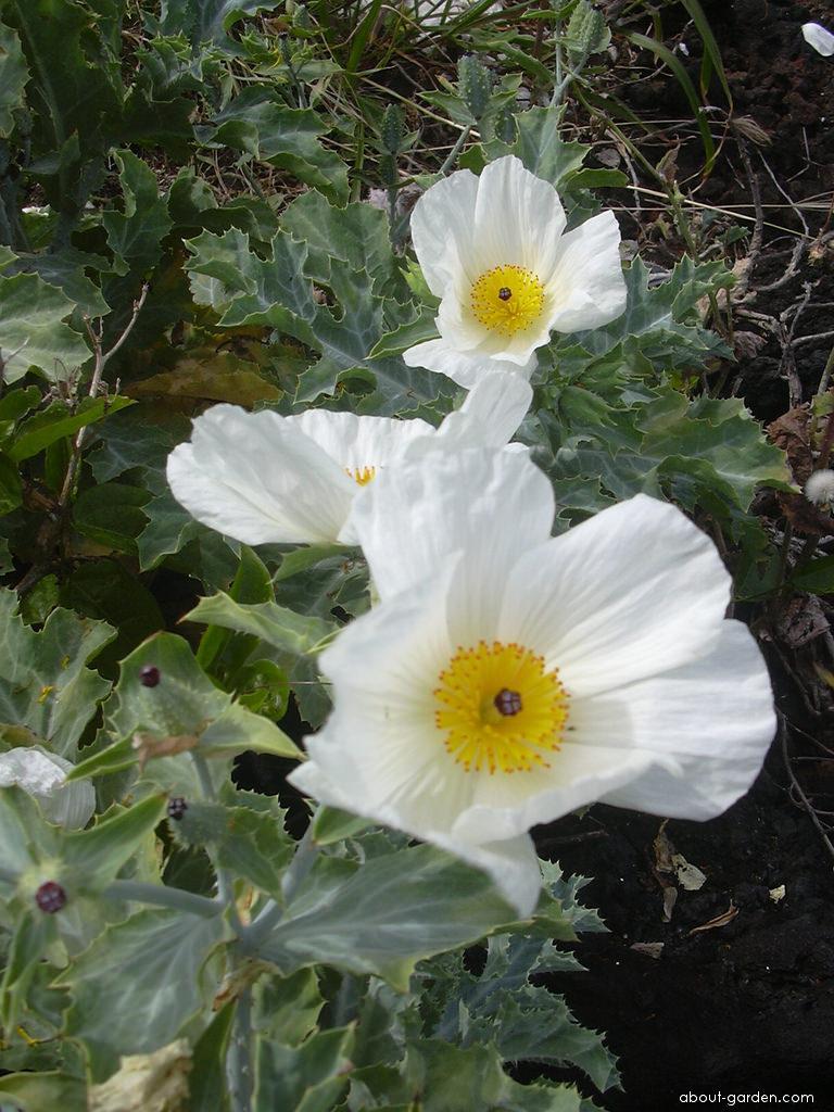 Pua kala - flowers (Argemone glauca)