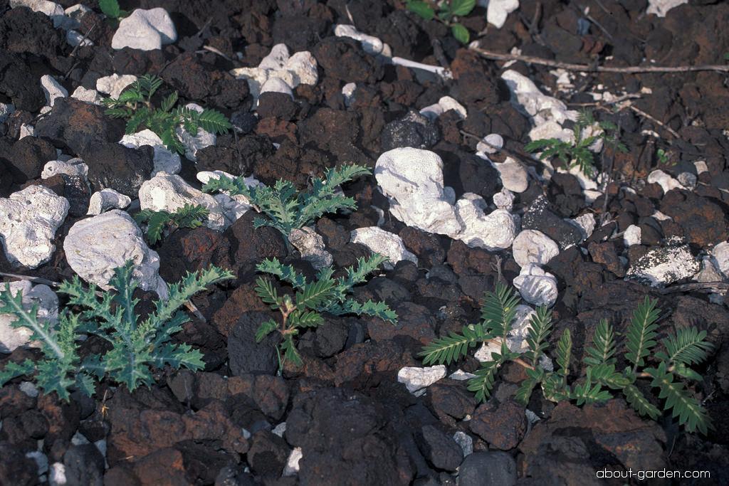 Pua kala - seedlings (Argemone glauca)