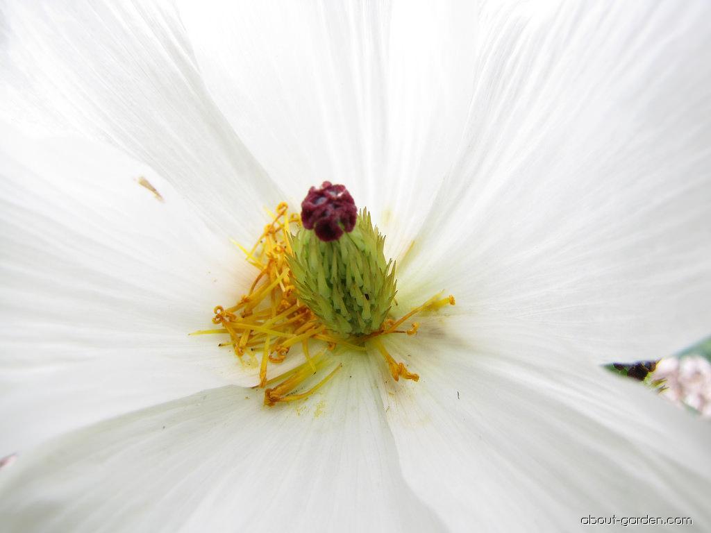 Pua kala - flower (Argemone glauca)