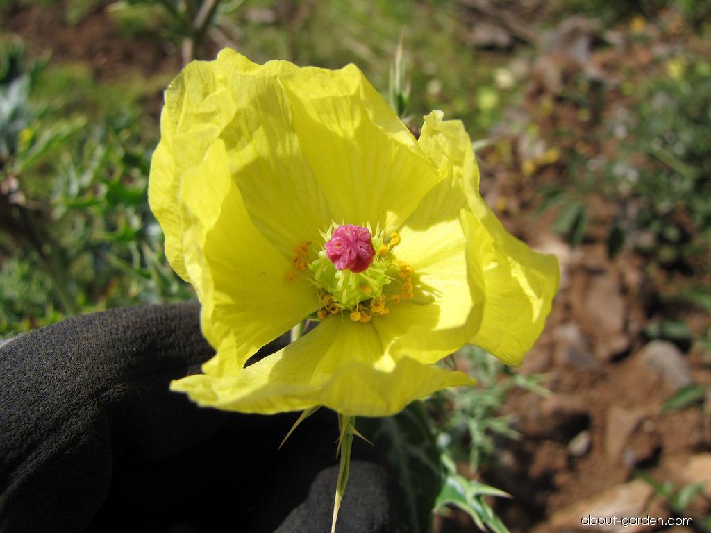 Mexican poppy - flower (Argemone mexicana)