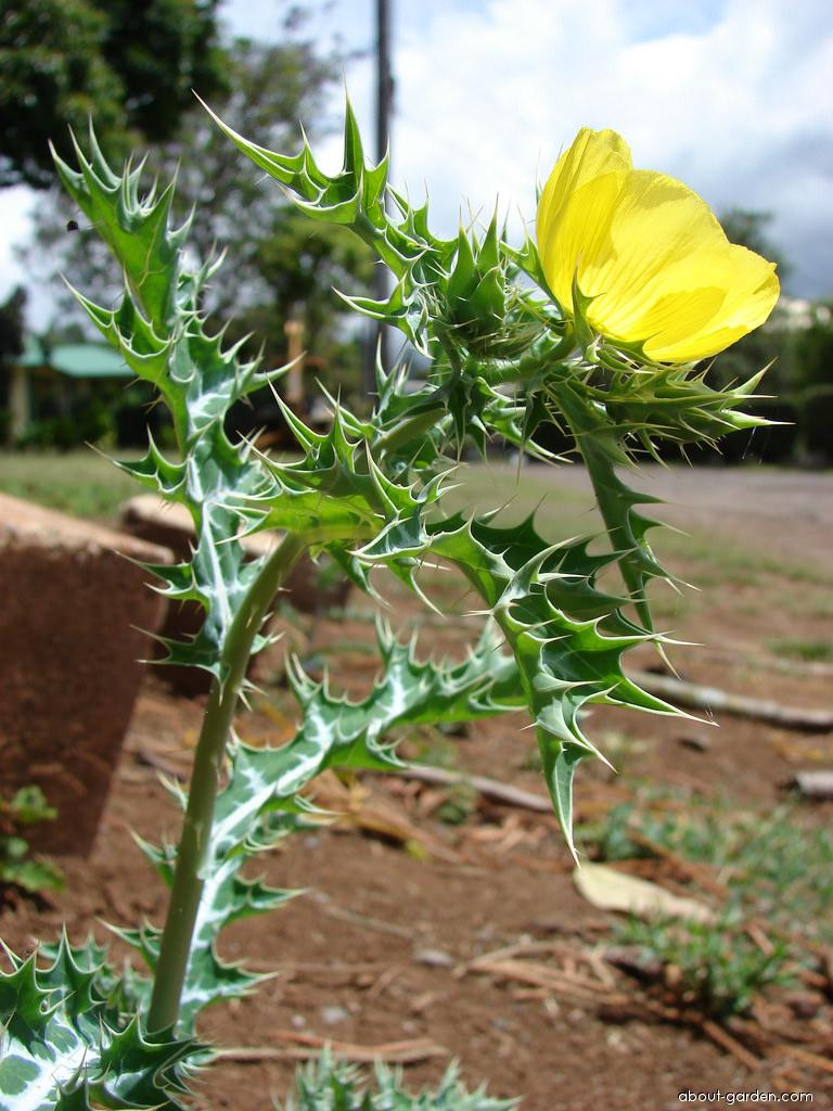 Mexican poppy - flowers and leaves (Argemone mexicana)