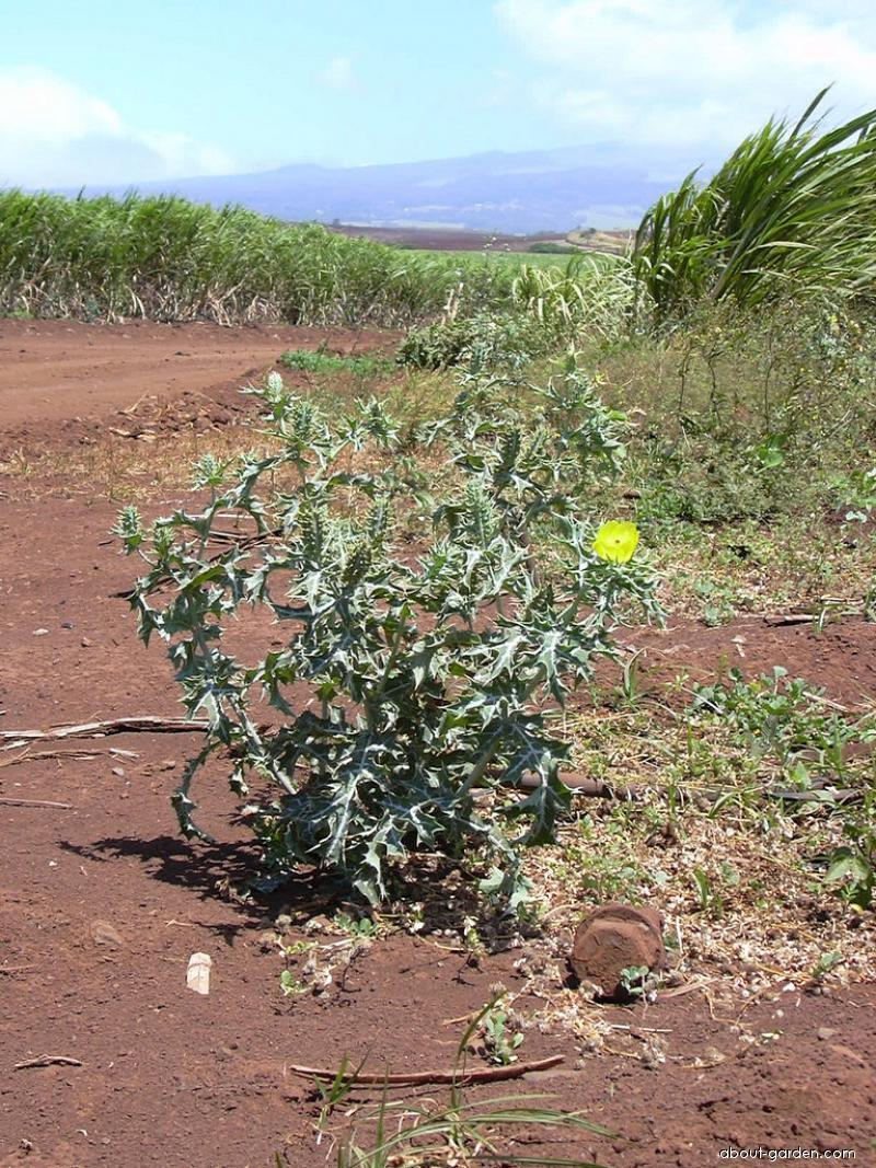 Mexican poppy - habit (Argemone mexicana)