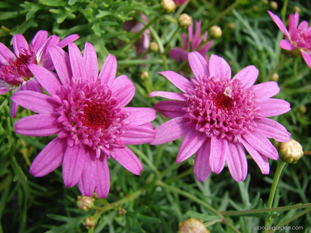 Paris daisy - Molimba Pink flowers and leaves (Argyranthemum frutescens)