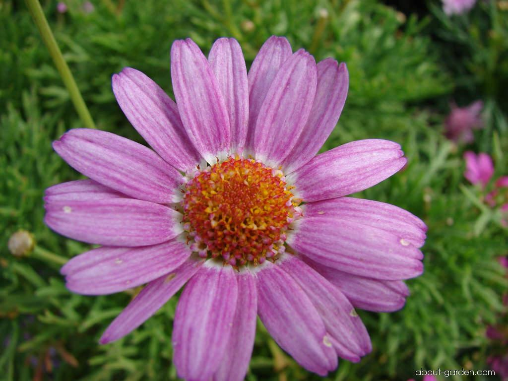 Paris daisy - Molimba Pink flowers and leaves (Argyranthemum frutescens)