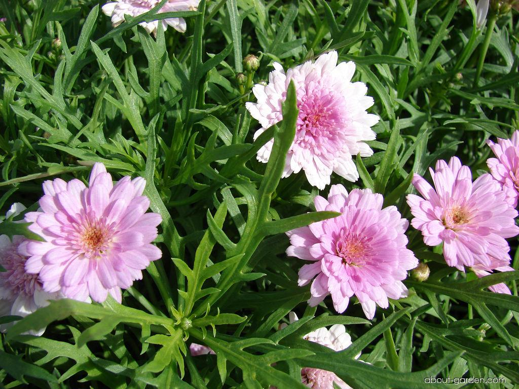 Paris daisy - Cobbity daisy summer melody flowers and leaves (Argyranthemum frutescens)