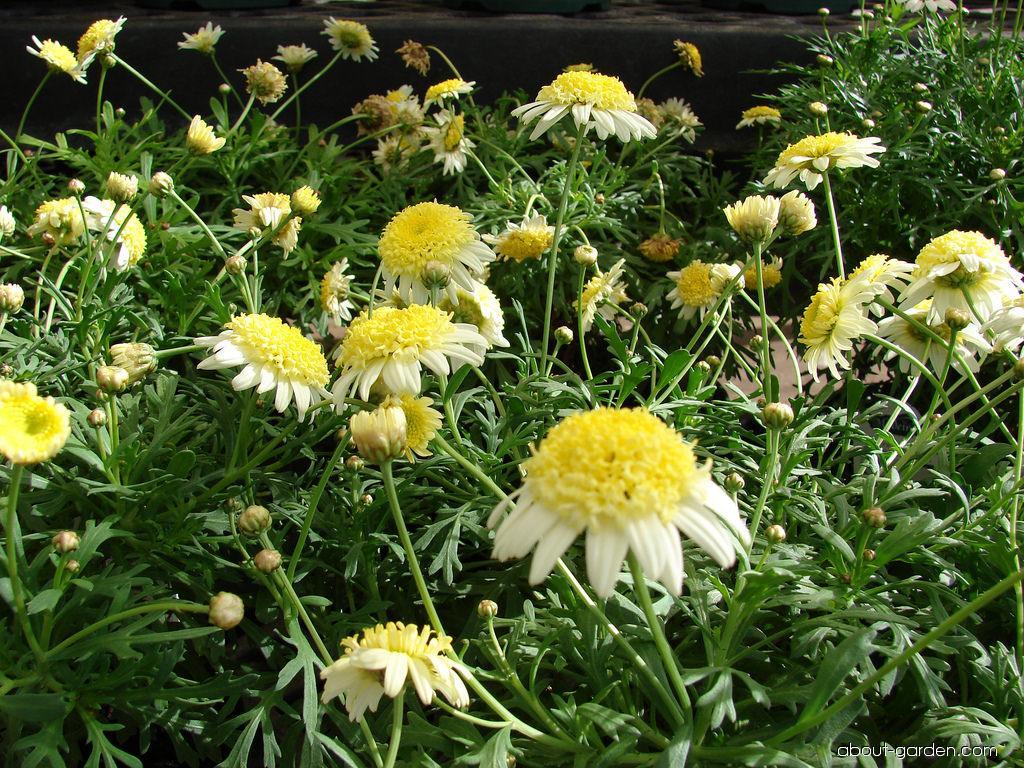 Paris daisy - Courtyard Butter Cream flowering habit (Argyranthemum frutescens)
