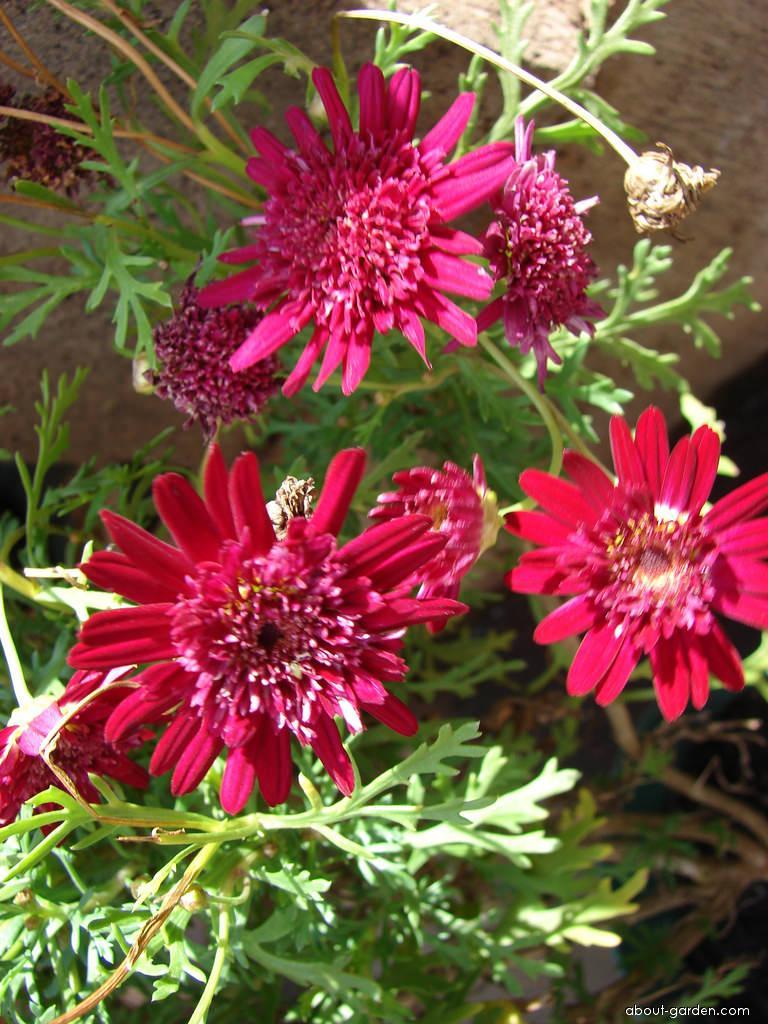 Paris daisy - Crested Merlot flowers (Argyranthemum frutescens)